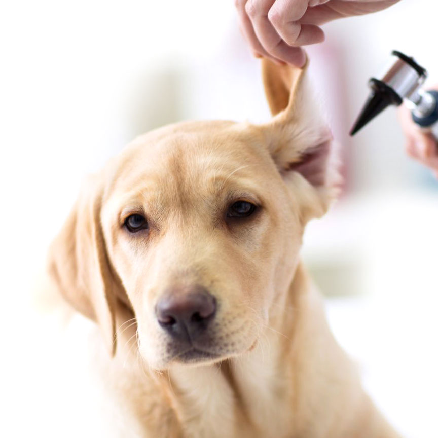 Pet Allergies & Infections